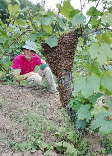 Essaim d'abeille au Breitenberg